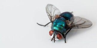 czym żywi się mucha